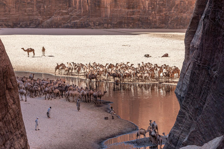 Cammelli che si abbeverano, altipiano Ennedi