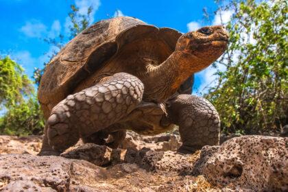 Isole Galapagos Tartaruga Gigante