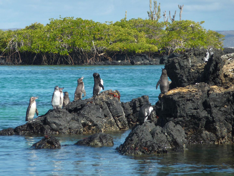 Isole Galapagos Pinguini Fauna