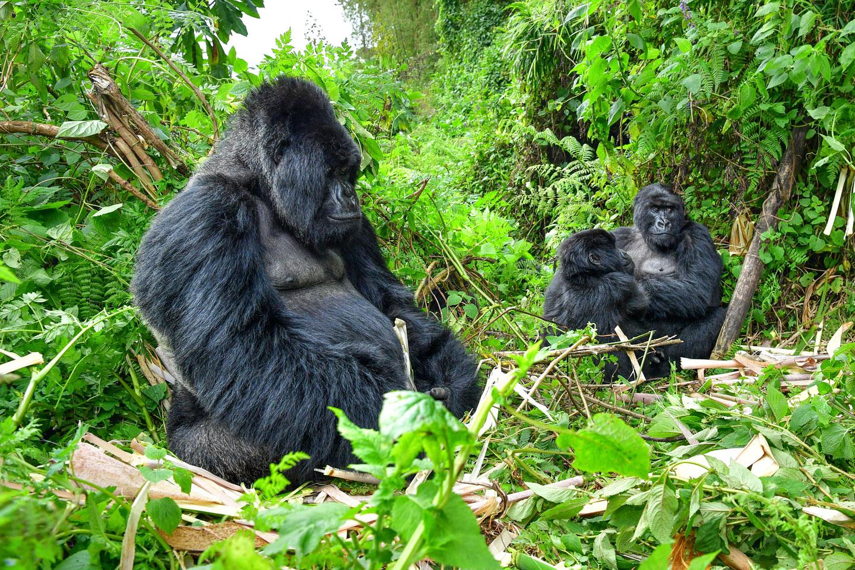 Gorilla di Montagna Famiglia