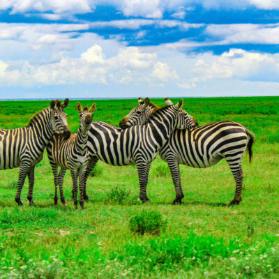 Tanzania Serengeti Zebre