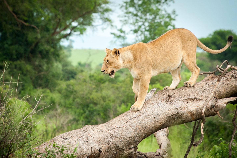 Uganda Parco Nazionale Murchison Falls
