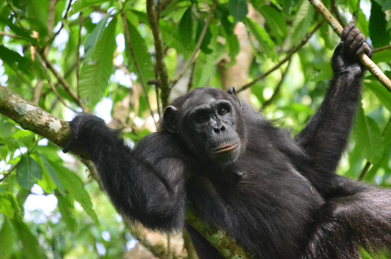 Uganda Foresta di Budongo