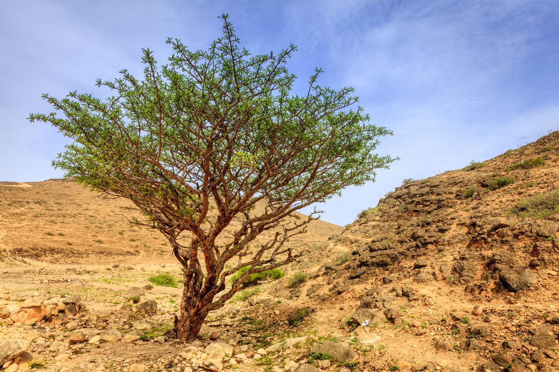 Oman Alberi Incenso Salalah