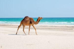 Oman Salalah Cammello Spiaggia