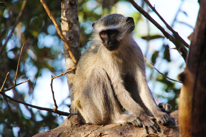Ruanda scimmia argentata