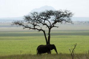 Elefante Safari Tanzania