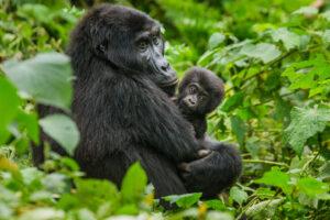 Gorilla Femmina e piccolo