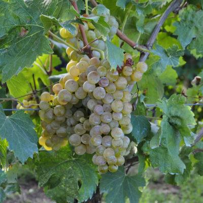 Langhe Uva di Vino Bianco