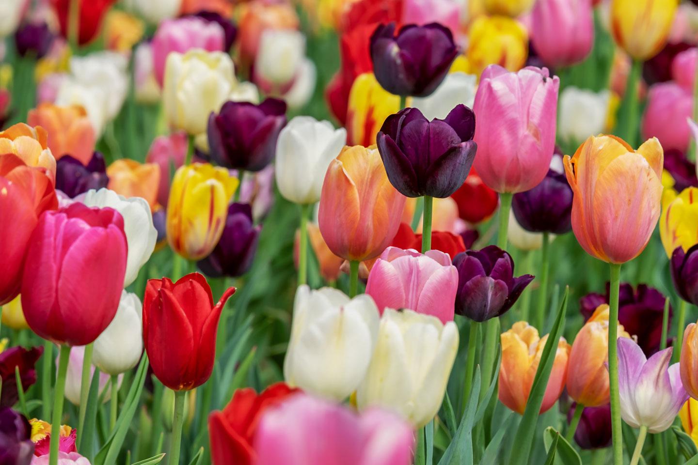 Pralormo Tulipani