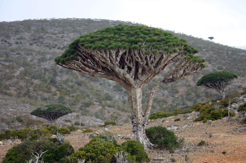 Socotra Dracaena cinnabari drago di Socotra