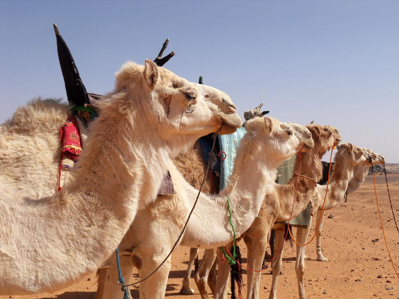 Deserto Libia Cammelli
